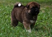 Healthy Akita Puppies For sale
