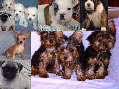 Teacup maltese,yorkie,chihuahua & pug,English Bulldog,boxer puppies