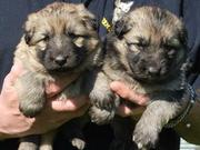 Litter of German Shepherd Dog Puppies