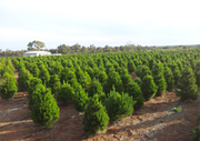 Live Christmas Trees Farm In Perth