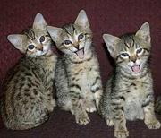 Gorgeous Serval and F1-F3 Savannah kittens for sale