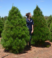 Buy Real Christmas Trees (Free net wrapping)