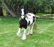 Gypsy Vanner horses for sale .