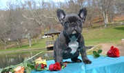 Christmas Blue frenchies for sale