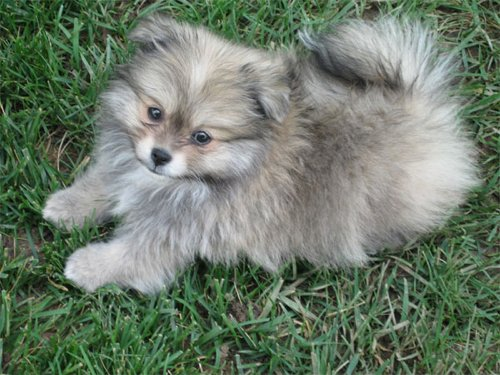Shih Tzu Pomeranian Mix For Sale | imperialshihtzu.org